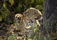 Leopard looking at a Puku