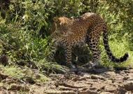 Male Leopard…