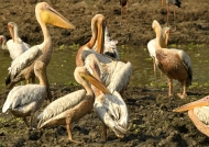 White Pelicans – grooming