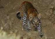 F. Leopard cub in the gulley…