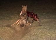 the Impala carcass
