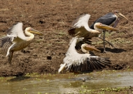 white pelicans-marabou stork