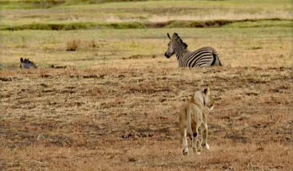 The Zebra did not see her…