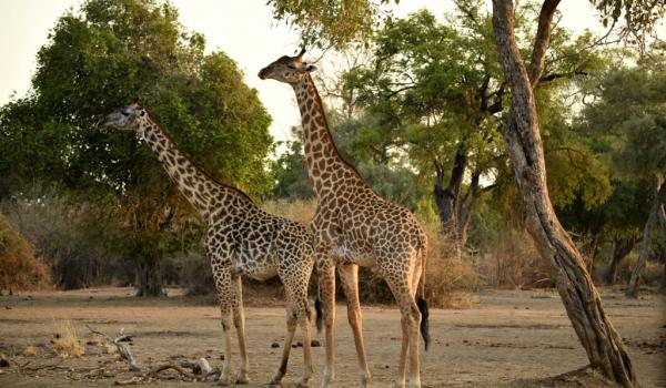 Thornicroft's Giraffes…