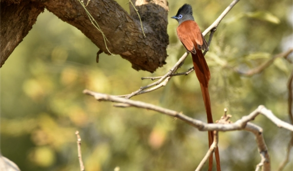 African Paradise-flycatcher-m.
