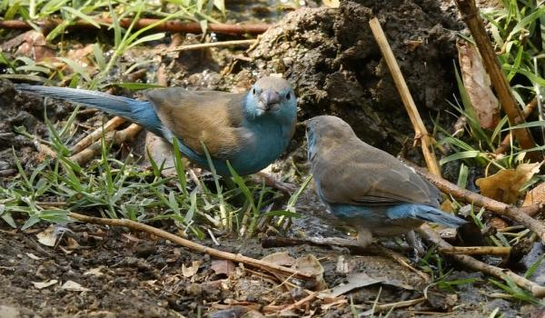 Blue Waxbills