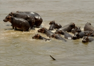 crossing the Luangwa River…