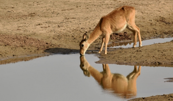 Puku reflection in the water
