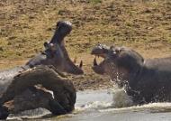 Big male Hippos-confrontation