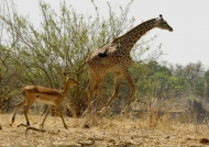 Impala invited by a Giraffe…