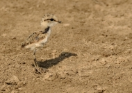 Kittlitz's Plover – chick