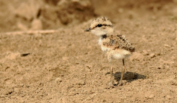 Kittlitz's Plover – chick