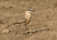 Kittlitz's Plover – f.