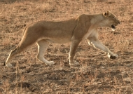 Lioness hunting