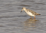 Ruff (European migrant)