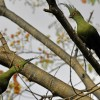 Shallow's Turacos – couple