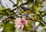 Variable Sunbird  – m.
