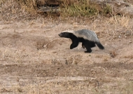 Honey Badger – juvenile