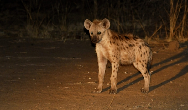 Spotted Hyena – juvenile