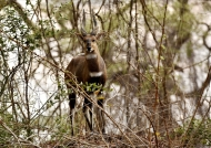Bushbuck m. on a mound