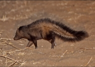 Bushy-tailed Mongoose