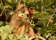 Eating a sausage tree flower