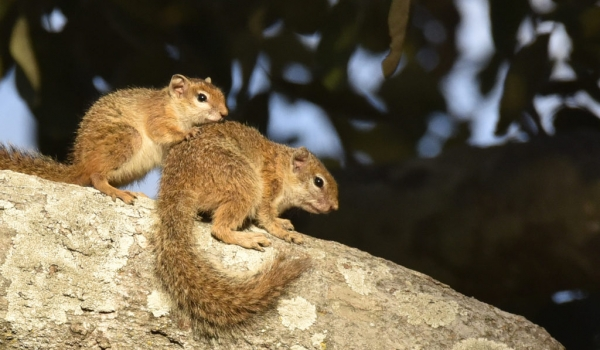 Tree Squirrels-mother & baby