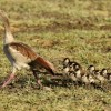 Egyptian Goose with chicks