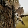 North. White-crowned Shrike