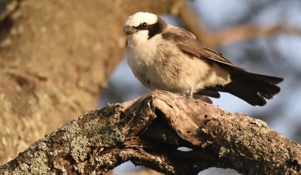 North. White-crowned Shrike