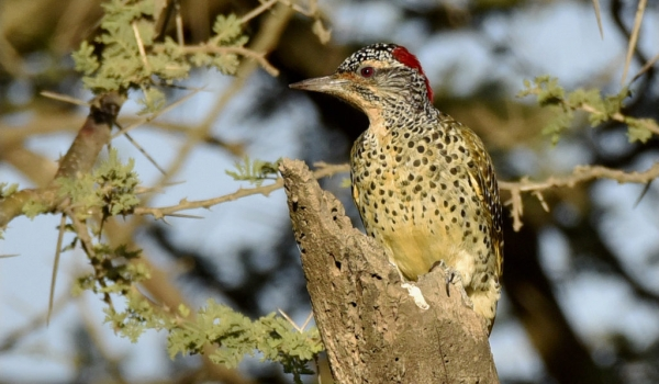 Nubian Woodpecker – f.