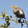 Wattled Starling – non-br.