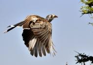 African Grey Hornbill – f