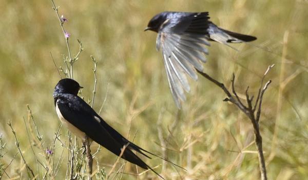 Barn Swallows – couple