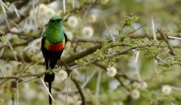 Beautiful Sunbird – br. m.