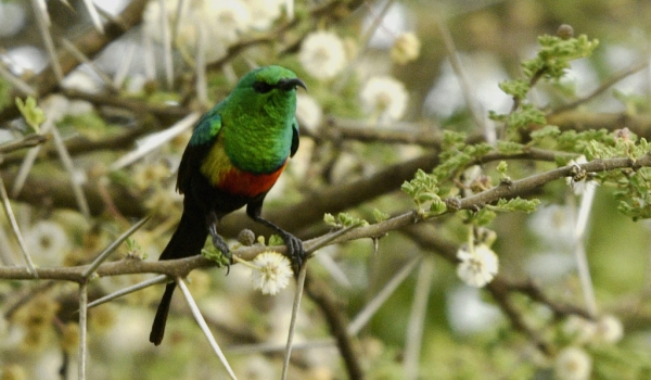 Beautiful Sunbird – br. m.