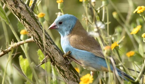 Blue-capped Cordon-bleu m.