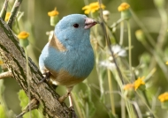 Blue-capped Cordon-bleu m.