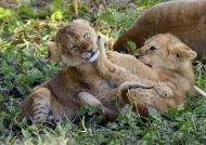 Lion cubs love to play…