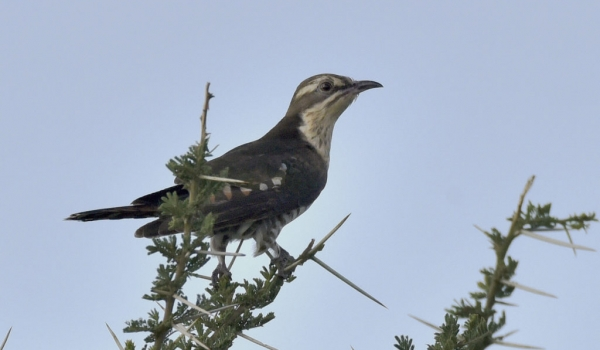 Diederik Cuckoo – f