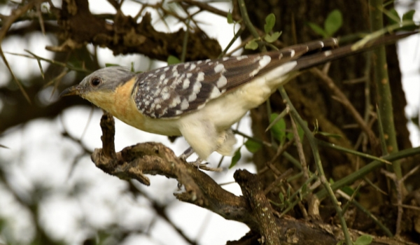 Great Spotted Cuckoo – ad.