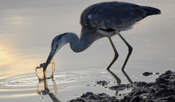 Grey Heron catching a frog