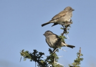 S Grey-headed Sparrows-cpl