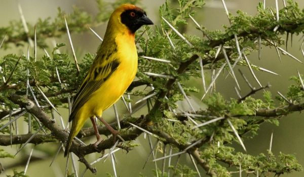 Viteline Masked Weaver – male