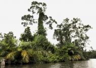Raphia palm trees
