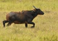 Forest Buffalo – Female