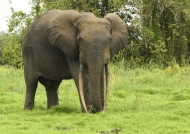 Big male Forest Elephant.