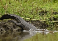 crocodile in the world, being…