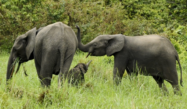 Forest Elephants – family