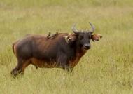 Forest Buffalo – Female….